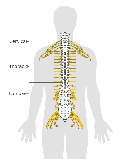 Diagram of spinal cord