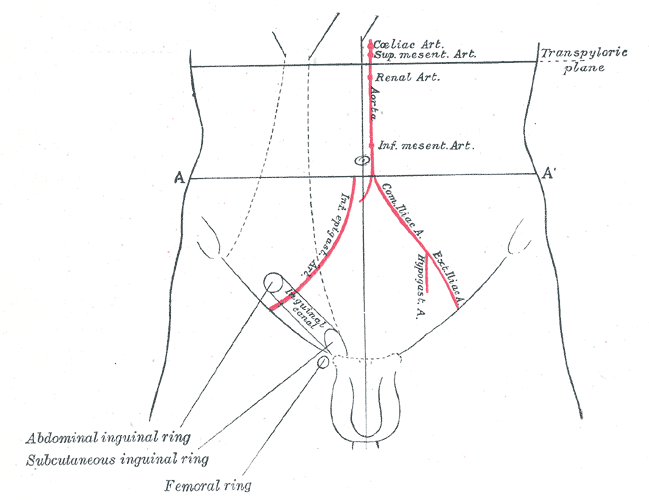 inguinal canal.png